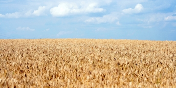 Wheat ukraine agriculture ebrd