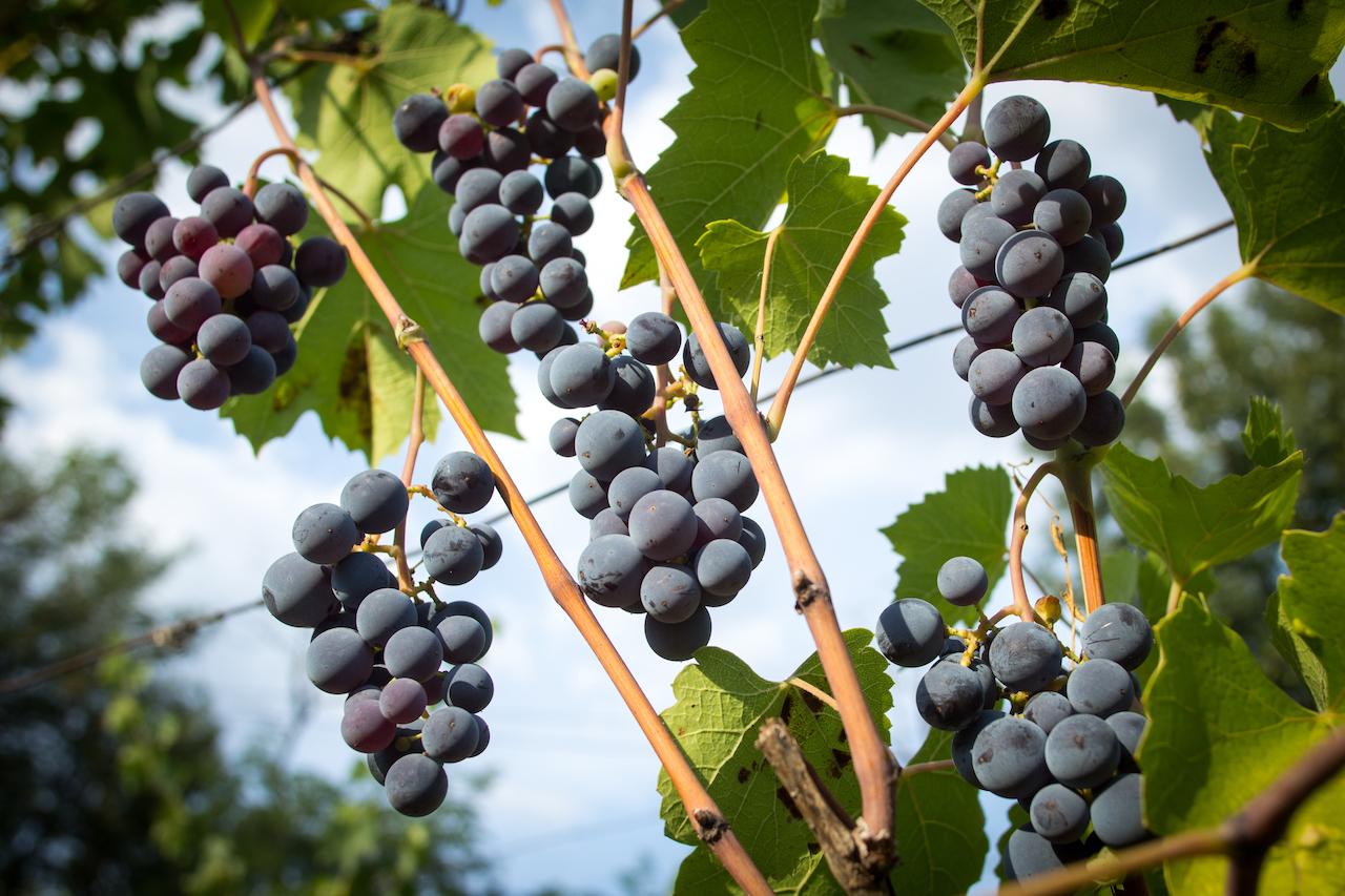 the wine market in romania essay