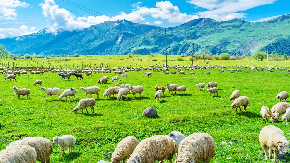 The highland agriculture lands in Gudauri with the herd of sheep grazing here Georgia.