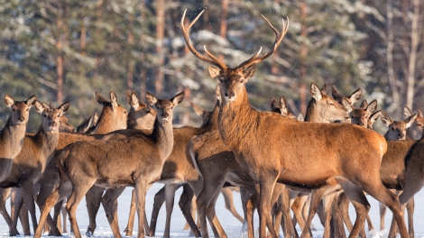 Great noble deer surrounded by herd.Portrait of a deer, while looking at you.Adult deer with big beautiful horns on snowy field on forest background.