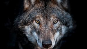 European Wolf Hungary