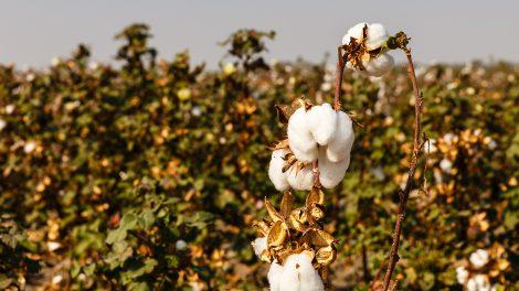 uzbekistan cotton harvest