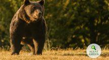 Arthur, the Romanian bear killed by an Austrian prince