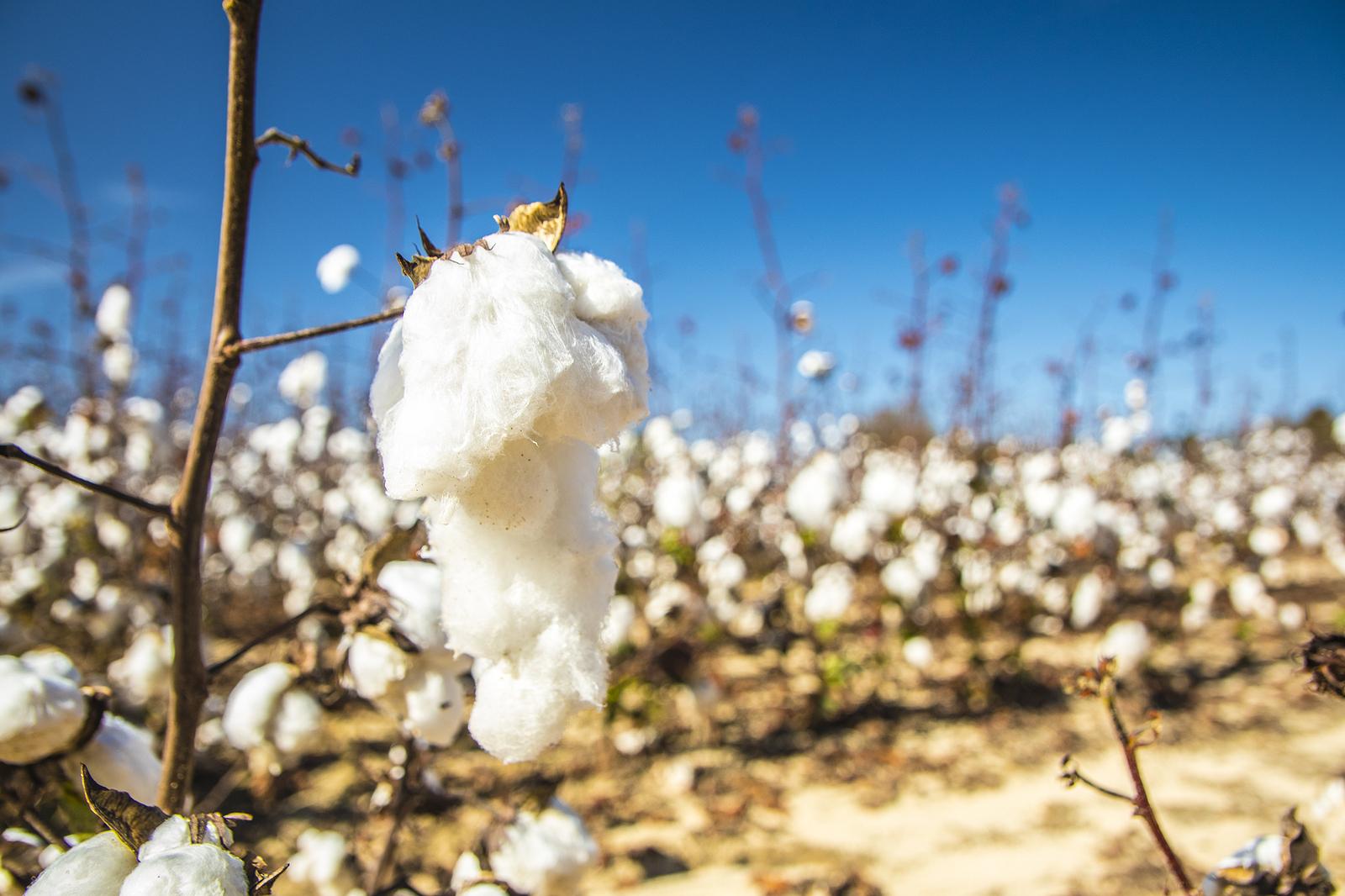Forced labour still prevalent in Turkmenistan cotton harvest